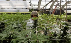 Cannabis Cultivation in Santa Cruz County